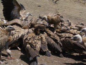 Vultures_fighting_over_flesh